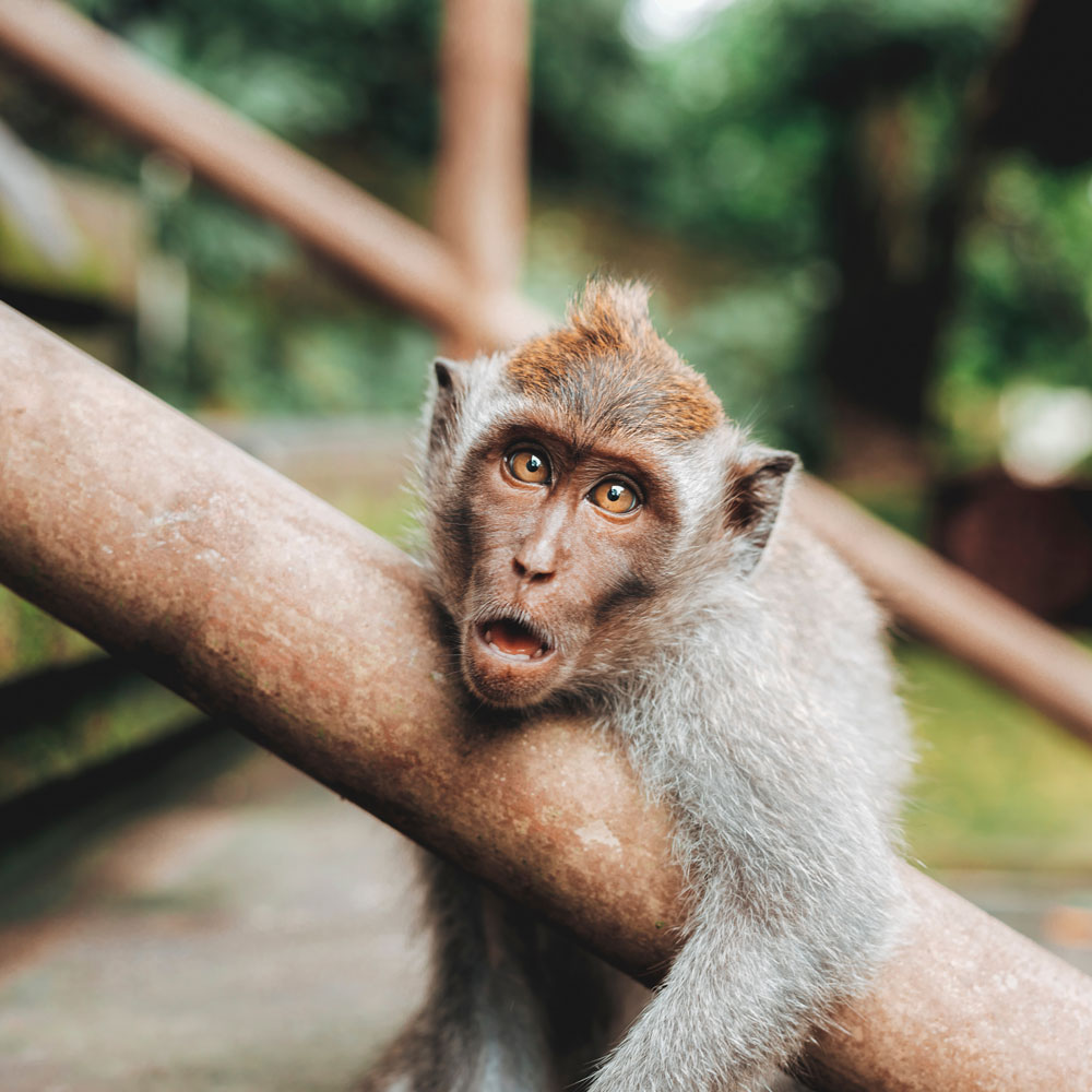 Do not look the monkeys in the eye: My piece about Ubud Monkey Forest (from someoe who that lives six blocks away & constantly avoids those little cute assholes)